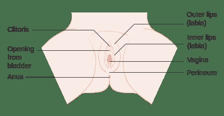 graphic showing anatomy of the vulva