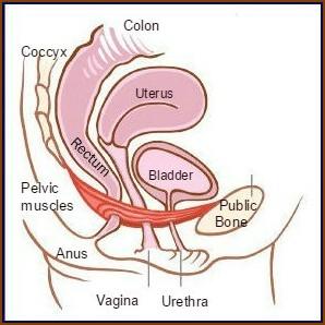 Normal female pelvic anatomy