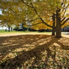 Large tree with green and gold leaves casts a shadow on a college campus